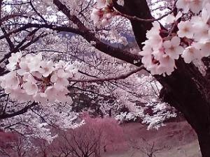 s-桜-6