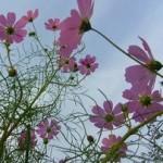 山口百恵さん「秋桜」の動画と、こすもすの「花言葉」